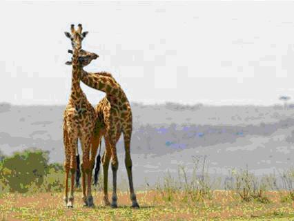 Girafe1